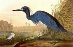 Petit héron blue par Audubon